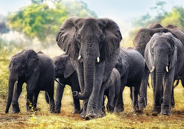 słonie afrykańskie - zdjęcie