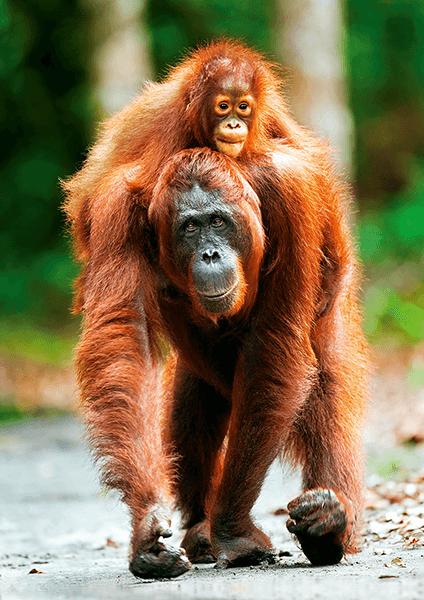 Orangutan z Indonezji